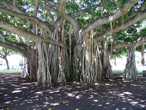 "The Banyan ""Taotaomona"" Tree"